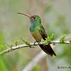 Male Buff-bellied Hummingbird<br /> Estero Llano Grande State Park