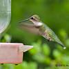 Female Ruby-throated Hummingbird<br /> Estero Llano Grande State Park