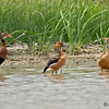 Black-bellied Whistling-Duck and Fulvous Whistling-Ducks<br /> Estero Llano Grande State Park