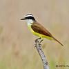 Great Kiskadee<br /> Estero Llano Grande State Park