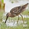 Longbilled Dowitcher<br /> Estero Llano Grande State Park