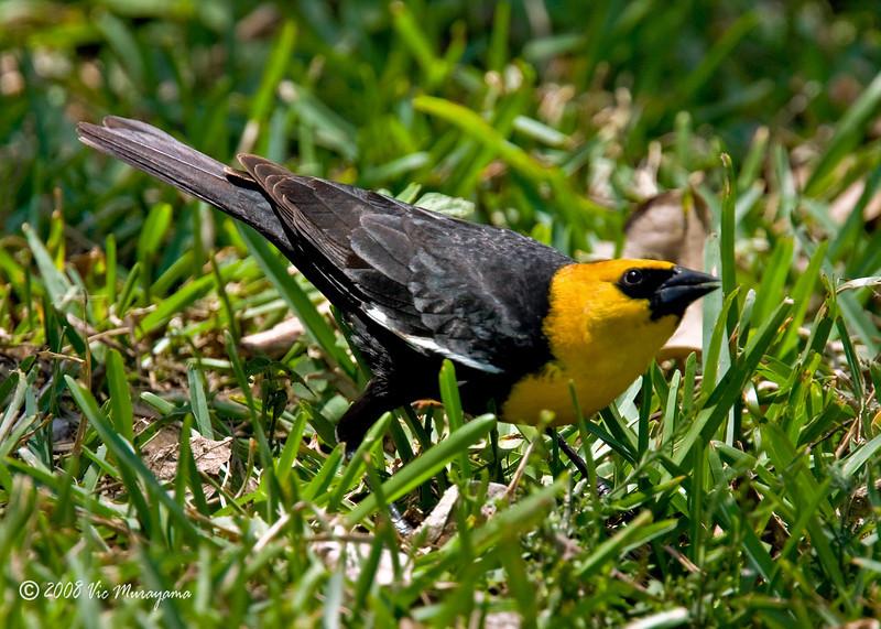 Male Yellow-headed Blackbird