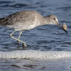 WILLET WITH A SAND CRAB