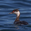 HORNED GREBE<br /> Glorietta Bay