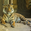 SUMATRAN TIGER<br /> 3 YR OLD FEMALE JOANNE