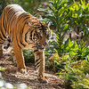 SUMATRAN TIGER<br /> 3 YR OLD FEMALE MAJEL