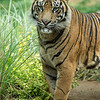 SUMATRAN TIGER<br /> 2 YR OLD MALE THOMAS
