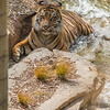 SUMATRAN TIGER<br /> 10 YR OLD MALE TEDDY