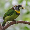 FEMALE FIRE-TUFTED BARBET