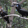 BLACK-CASQUED HORNBILLS<br /> female left, male right