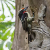 BLACK-SPOTTED BARBET