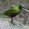 EMERALD STARLING