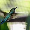 FEMALE BLUE-CHINNED SAPPHIRE HUMMINGBIRD