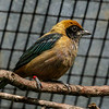 RUFOUS-CROWNED TANAGER (also known as Burnished-buff Tanager) <br /> Tangara cayana