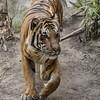 MALAYAN TIGER<br /> CONNER