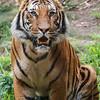 MALAYAN TIGER - CONNER