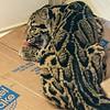 CLOUDED LEOPARD<br /> Ganda, an 8 month-old female.