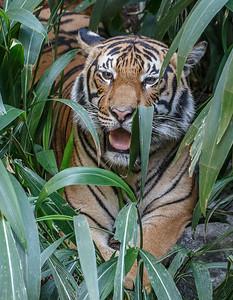 MALE MALAYAN TIGER CINTA