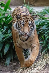 MALE MALAYAN TIGER BERANI