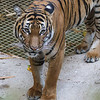 FEMALE MALAYAN TIGER - TIGA