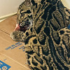 CLOUDED LEOPARD<br /> Ganda, an 8 month-old female.