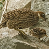 FEMALE HIMALAYAN MONAL AND HER CHICK.