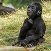 15 MONTH OLD MALE BABY GORILLA, DENNY