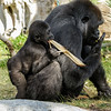 15 MONTH OLD MALE BABY GORILLA, DENNY WITH MOM JESSICA